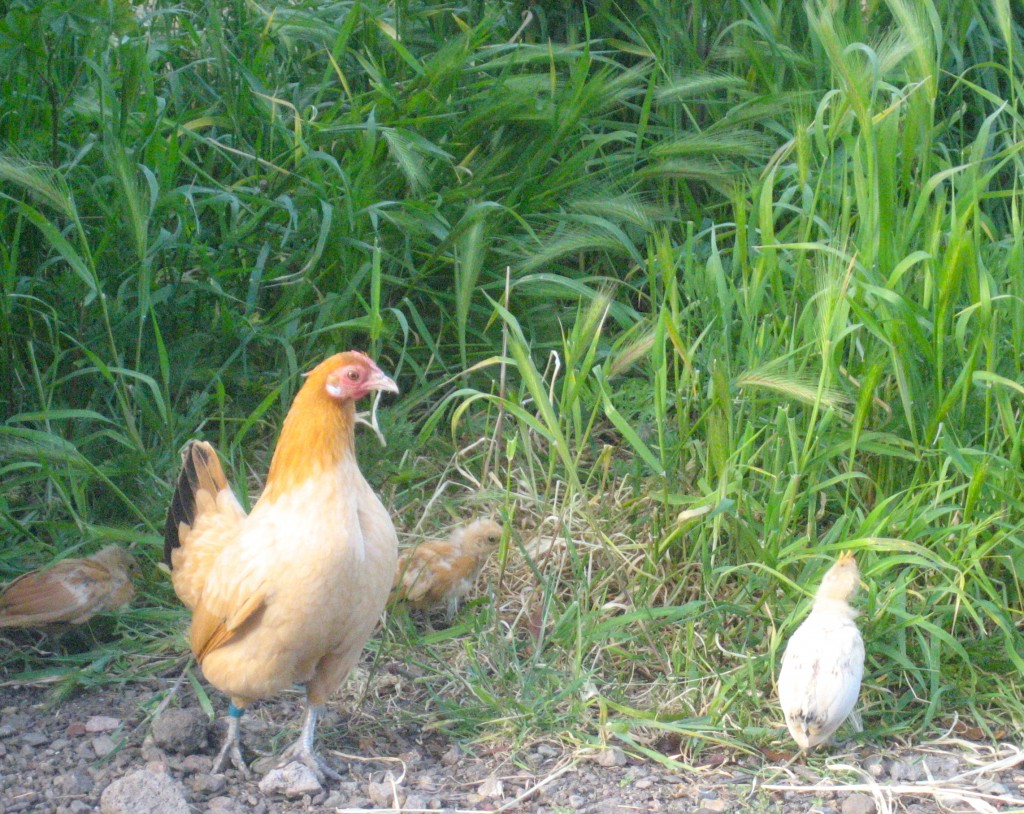 Whitey as a chick, with his Mom, Blanche.