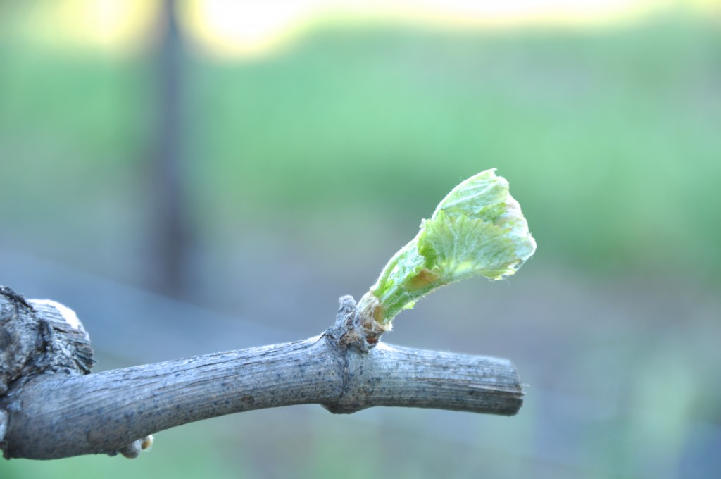 Buds on April 9