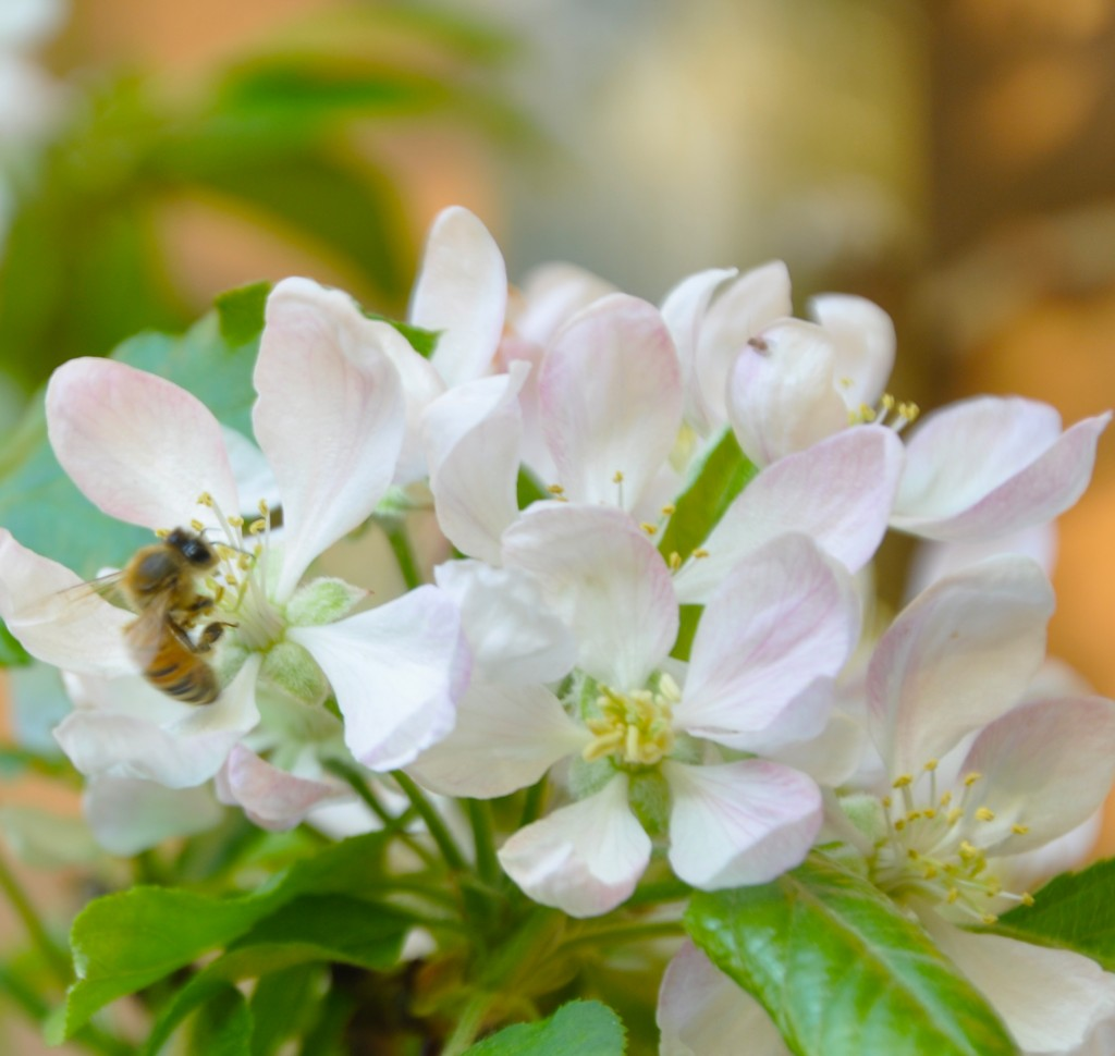 Bees on our apple blossoms.